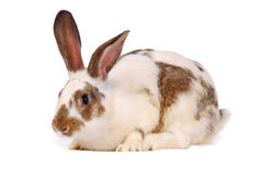 One rabbit on the white Royalty Free Stock Photo
