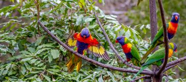 One rainbow lorikeet landing while more are sitting on a branch Royalty Free Stock Photo