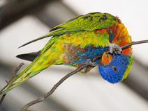 An one rainbow lorikeet parrot Royalty Free Stock Photo