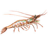 One raw fresh shrimp closeup isolated, watercolor illustration on white. Background royalty free illustration