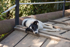 One recumbent dog Royalty Free Stock Images