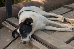 One recumbent dog Stock Images