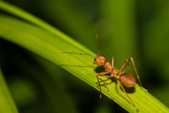 One Red ant Stock Image
