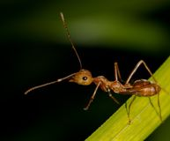One Red ant Royalty Free Stock Photography