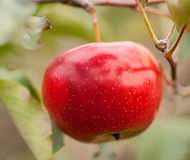 One red apple on a branch. The branch of tree with fresh red apple Stock Photography