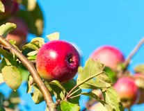 One red apple on a branch Royalty Free Stock Images