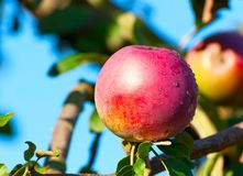 One red apple on a branch. Royalty Free Stock Images