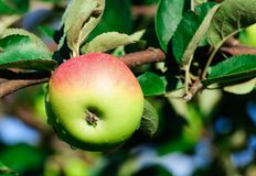 One red apple on a branch Royalty Free Stock Image