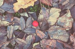 One red berry of hawthorn on a background of fallen dry autumn leaves stock photography