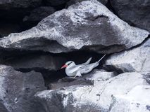 Red-billed tropicbird, Phaethon aethereus, nesting in rock bends. Santa Cruz, Galapagos, Ecuador. One Red-billed tropicbird, Phaethon aethereus, nesting in rock Royalty Free Stock Photography
