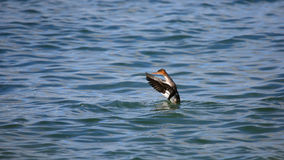 One Red-breasted merganser flapping wings in blue water Stock Photos