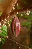 One red cacao pod hanging Royalty Free Stock Images