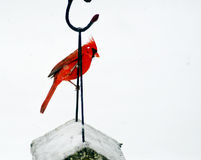 One red Cardinal hangs above a bird feeder. Stock Photography