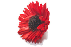One Red Chrysanthemum Flower Stock Photos
