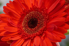 One red chrysanthemum Royalty Free Stock Images