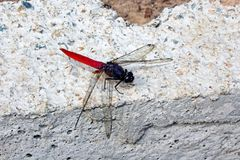 Red Dragonfly. One red color dragonfly is resting on a brick in Fujian Province, China Royalty Free Stock Image
