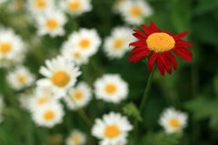 One Red Daisy Stock Photo