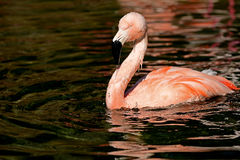 One red Flamingo Royalty Free Stock Photography