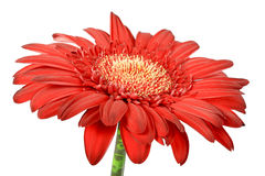 One red flower Stock Images