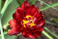 One red flower with green leaves stock photos