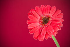 Flower on red background Royalty Free Stock Photos