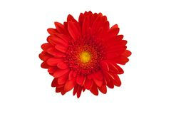 Free One Red Gerbera Flower On White Background Isolated Close Up, Orange Gerber Flower, Scarlet Daisy Head Top View, Floral Pattern Royalty Free Stock Images - 164559159