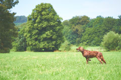 One Red irisch setter dog on the meadow stock photography