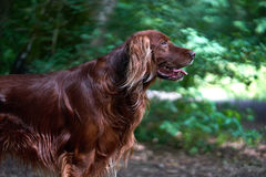 One Red irisch setter dog portrait in forest Stock Photos