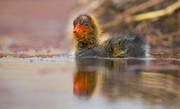 One Red-knobbed coot chick leaves the safety of nest to swim on a pond stock photo