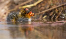 One Red-knobbed coot chick swims on still water pond royalty free stock photos