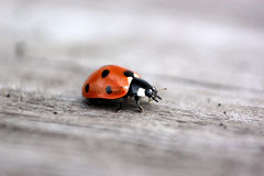 One red ladybug Stock Images