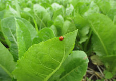 One red ladybug walking on the vibrant green vegetable leaf with morning dew Royalty Free Stock Image