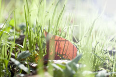 One red leaf in the green grass Royalty Free Stock Images