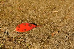 Red Leaf on the Ground. One red leaf on the ground, brown background stock image