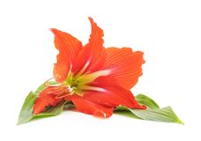 One red lily. Royalty Free Stock Photo