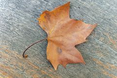 One red maple autumn leaf on wooden table like decoration. Natural dry leaf Stock Image