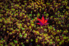 One red maple leaf on green moss Stock Images