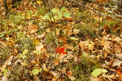 One red maple leaf on the ground with brown leave, green leaves, twigs, and grass in Kathio State Park, Minnesota stock photography