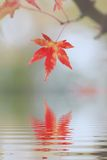 One red maple leaf reflecting in water. Mourning card design royalty free stock photography
