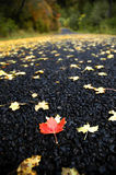One Red Maple Leaf on Road. One Red Maple Leaf on Country Road Sourrounded by Yellow Leaves Stock Photography