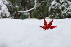One red maple leaf in snow in late autumn. One red maple leaf fallen and partially buried in snow in late autumn with green trees in the background Royalty Free Stock Photo