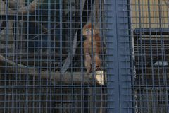 Monkey in a cage in a zoo. Sadness. One red monkey look through the bars of the fence. Locked in jail. The Kiev Zoo royalty free stock photos
