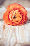 One red-orange buttercup flower Stock Photography