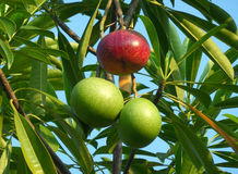 One Red and a Pair of Green Fruits of the Pong-Pong Tree Royalty Free Stock Photo