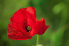One red poppy Royalty Free Stock Image