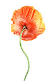 One red poppy back side Stock Photos