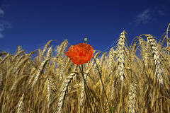 One red poppy on cereal field Royalty Free Stock Photography