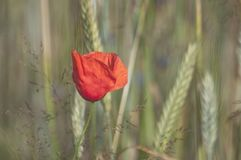 Summer .Red one poppy in the cereal Stock Images
