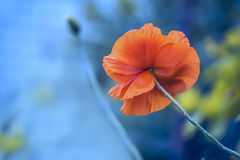 One red poppy flower close-up on a pancake stem on a blue background. Natural background. A lot of free space for ideas and inscri Stock Images