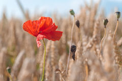 One red poppy flower in a golden ripe wheat field. Blue sky in background stock image